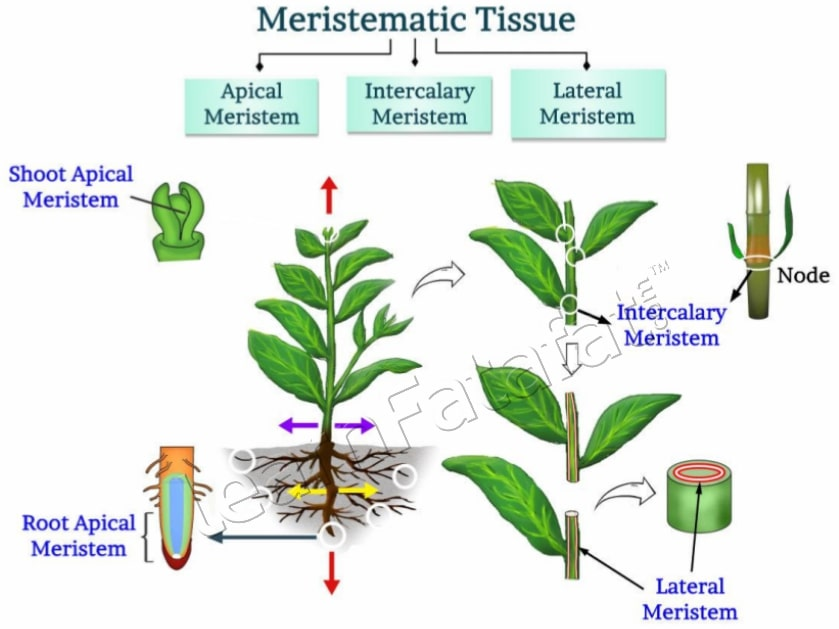 Plant tissue functions and structure