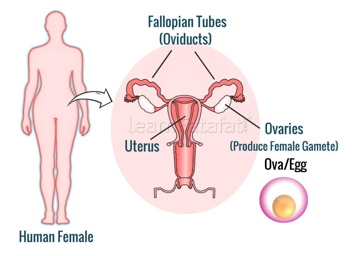 Female Reproductive System Learnfatafat Cbse Ncert Class 8 Class