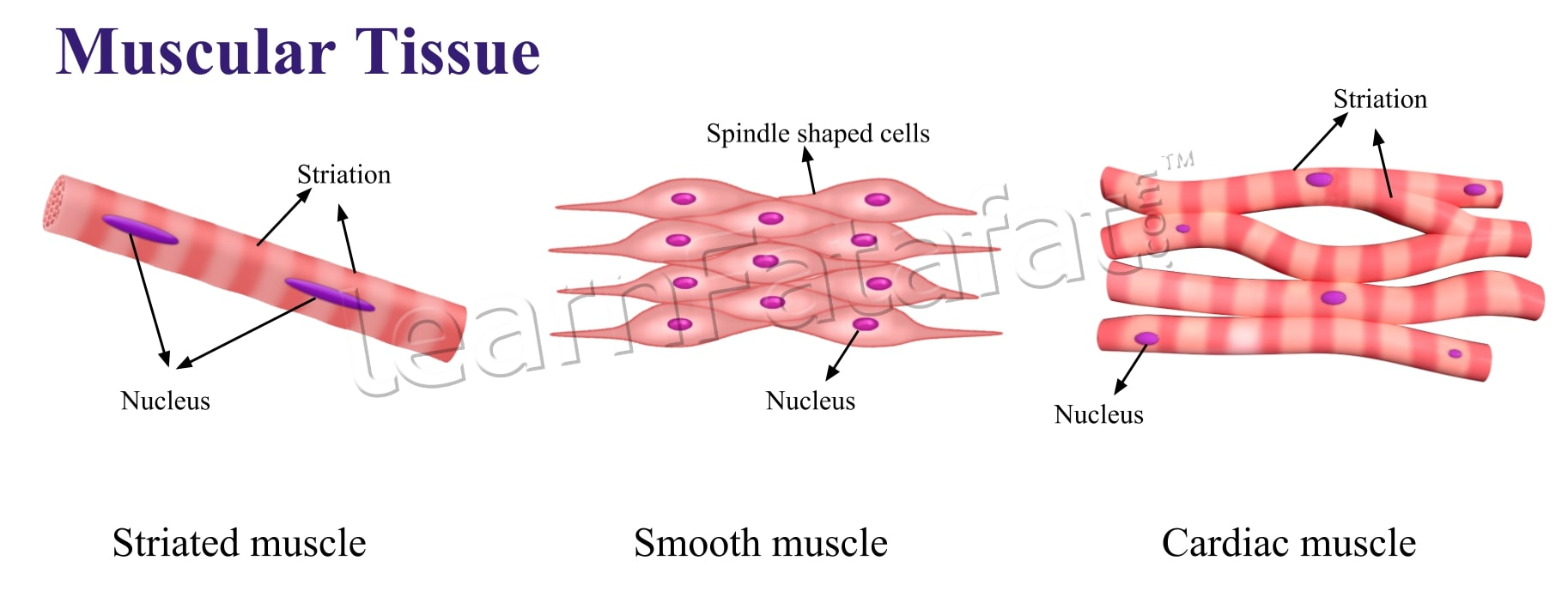 NCERT Solutions For Class 9 Science Chapter 6 Tissues ...