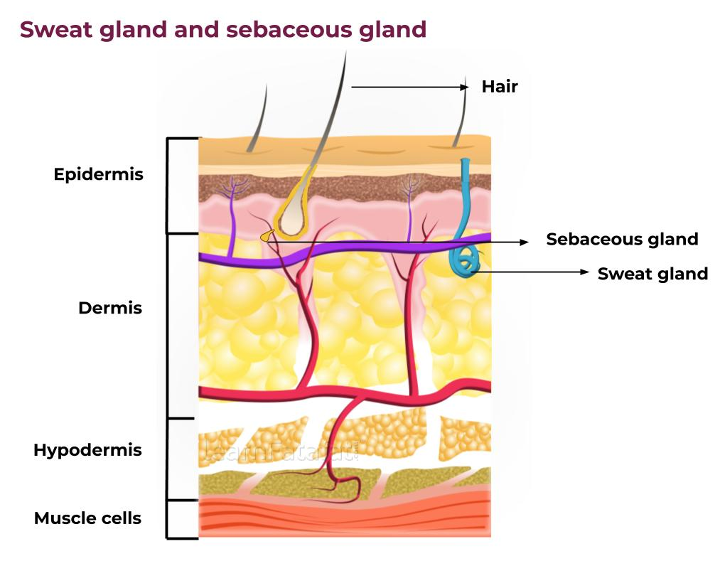 Structure of skin | Sweat gland and sebaceous gland | Learnfatafat