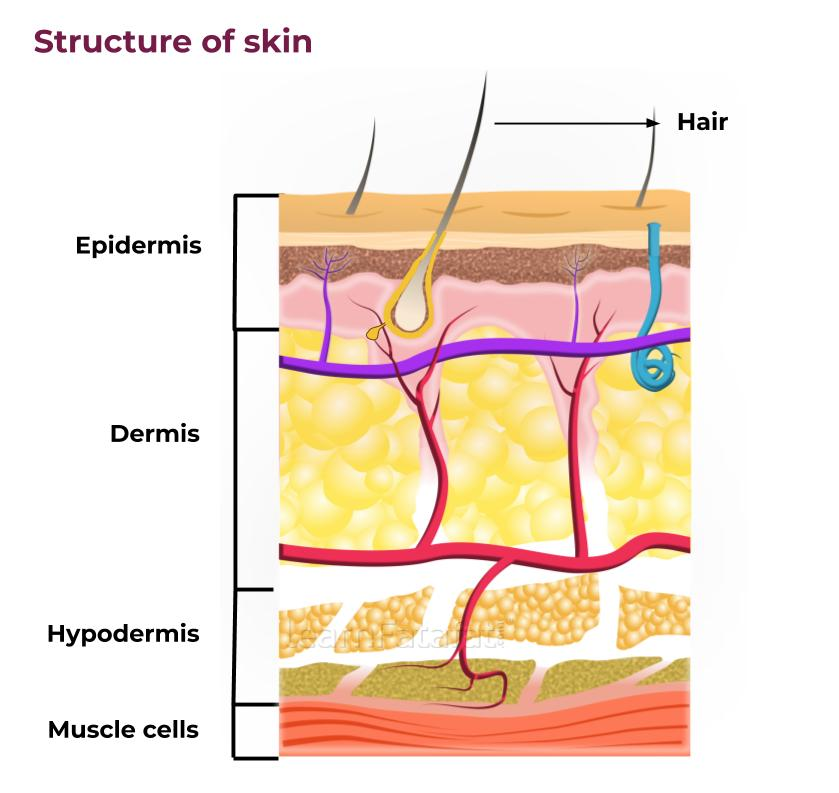 Structure Of Skin | Skin Structure and Function - LearnFatafat